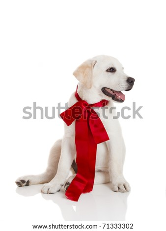 Adorable labrador retriever puppy wearing a red satin lace, isolated on white - stock photo