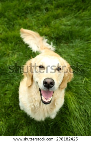 Adorable Labrador sitting on green grass, outdoors - stock photo