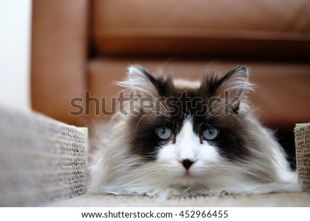 Adorable Large Long Hair Bi Color Brown White Ragdoll Cat with Blue Eyes and Black Button Nose sitting in Scratcher  - stock photo