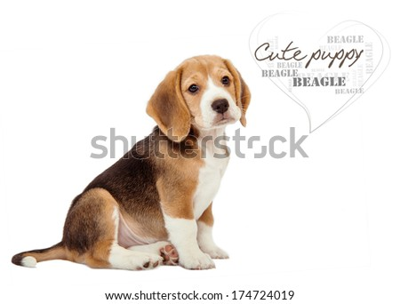 Adorable little beagle puppy on white background - stock photo