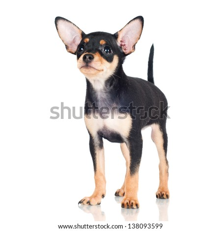 adorable little black puppy - stock photo
