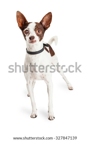 Adorable little Chihuahua mixed breed dog with one blind eye standing with a funny expression on his face