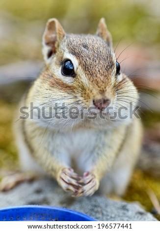 Adorable little chipmunk portrait - stock photo