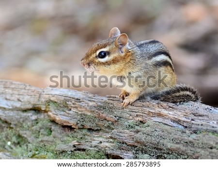 Adorable little chipmunk sits peacefully on a log  - stock photo