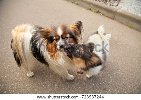 Great Papillon Canine Adorable Dog - stock-photo-adorable-little-dog-family-adult-and-puppy-of-papillon-breed-723537244  2018_797891  .jpg