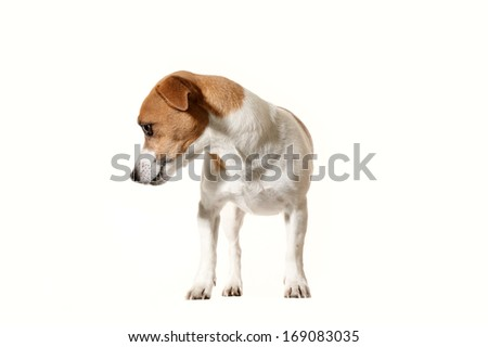 Adorable little dog, isolated on white background