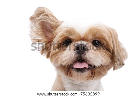 Adorable little dog listen and lift ear and isolated on  white background. - stock photo