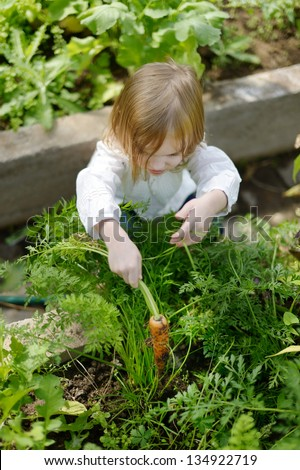 Adorable little girl picking carrots in a garden - stock photo