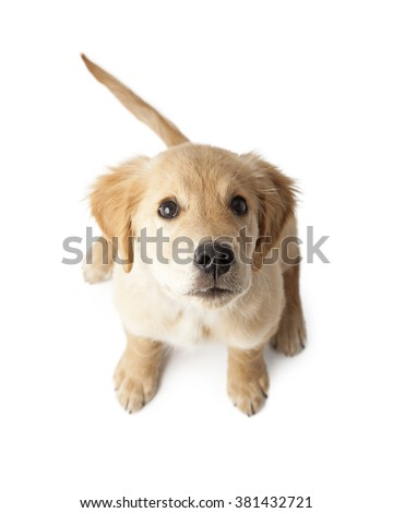 Adorable little Golden Retriever purebred puppy sitting on a white background looking up - stock photo