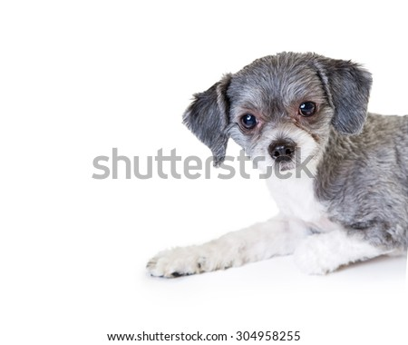 Adorable little mixed breed dog laying on a white background. Image creatively cropped with white copy space - stock photo