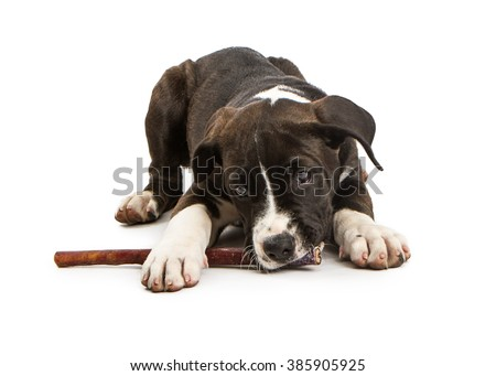 Adorable little mixed large breed dog laying on a white studio background chewing on a bully stick treat - stock photo
