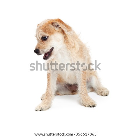 Adorable little mixed terrier breed puppy dog looking down. Place your product on the ground to have him look at it.  - stock photo