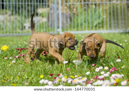 Adorable little Rhodesian Ridgeback puppies playing together in garden. Funny expressions in their faces. The little dogs are five weeks of age. - stock photo