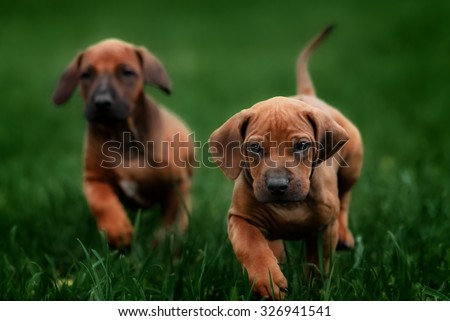 Top Rhodesian Ridgeback Brown Adorable Dog - stock-photo-adorable-little-rhodesian-ridgeback-puppies-playing-together-in-garden-funny-expressions-in-their-326941541  2018_396660  .jpg