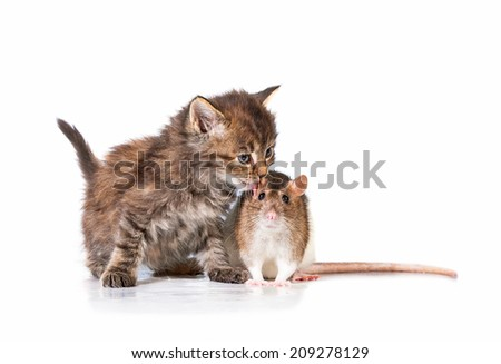 Adorable little tabby kitten kissing a rat - stock photo