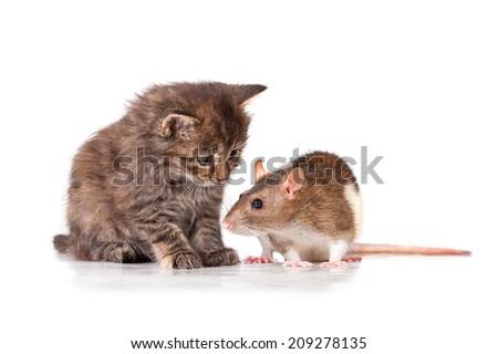 Adorable little tabby kitten with rat - stock photo