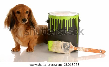 adorable long haired dachshund sitting beside paint can - stock photo