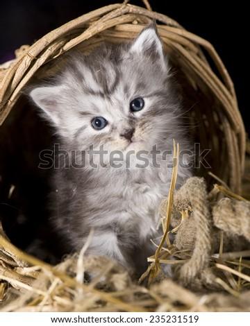 Adorable maine coon kitten - stock photo
