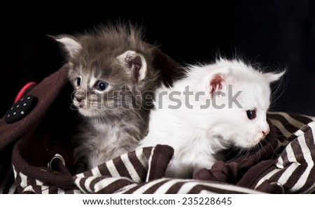 Adorable maine coon kitten  in bag - stock photo