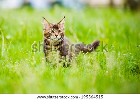 adorable maine coon kitten outdoors - stock photo