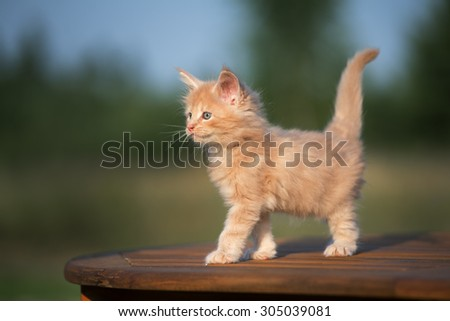 adorable maine coon kitten standing outdoors - stock photo