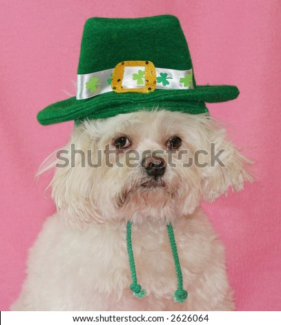 adorable maltese dog with St. Patrick hat - stock photo
