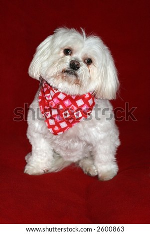 adorable maltese wearing scarf with hearts