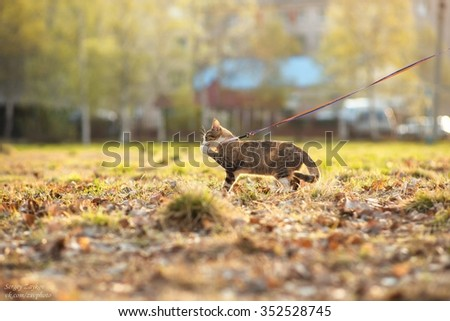 adorable meowing tabby kitten outdoors in morning - stock photo