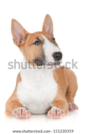 adorable miniature bull terrier puppy lying down