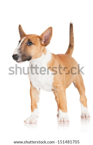 adorable miniature english bull terrier puppy - stock photo