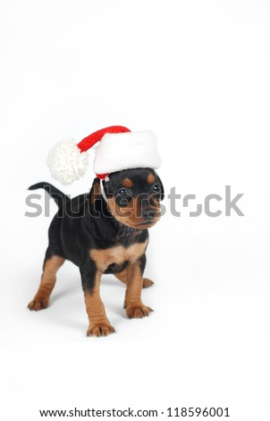 adorable miniature pinscher puppy with santa clouse hat - stock photo