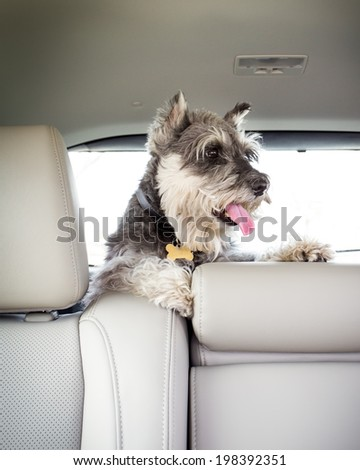 Adorable Miniature Schnauzer on car ride - stock photo