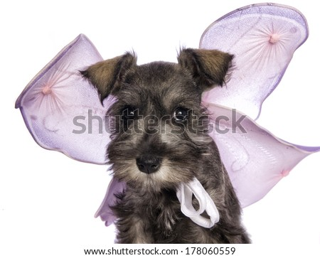 Adorable Miniature Schnauzer puppy dressed as a fairy with purple wings isolated on white background - stock photo