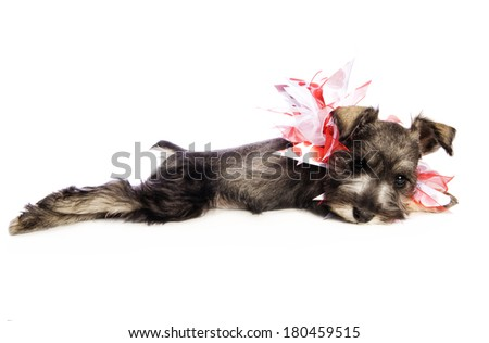 Adorable Miniature Schnauzer puppy lying down wearing red and white heart necklace isolated on white background