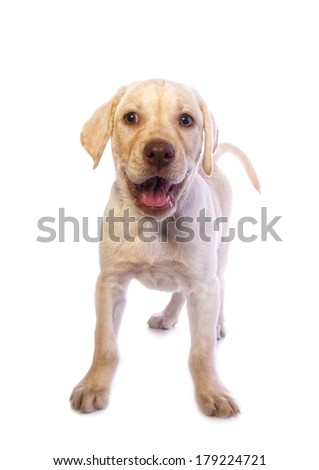 Adorable mischievous yellow Labrador Retriever puppy standing isolated on white background