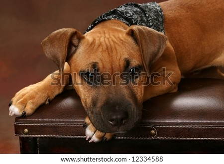 adorable mixed breed puppy on leather stool