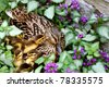 Adorable newly hatched mallard ducklings (just a few hours old) getting to know momma in their nest surrounded by lamium flowers.  Closeup with shallow dof. - stock
