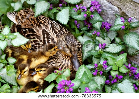 Adorable newly hatched mallard ducklings (just a few hours old) getting to know momma in their nest surrounded by lamium flowers.  Closeup with shallow dof. - stock photo