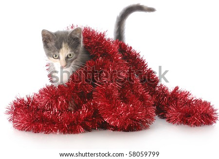 adorable nine week old kitten playing in red christmas garland with reflection on white background