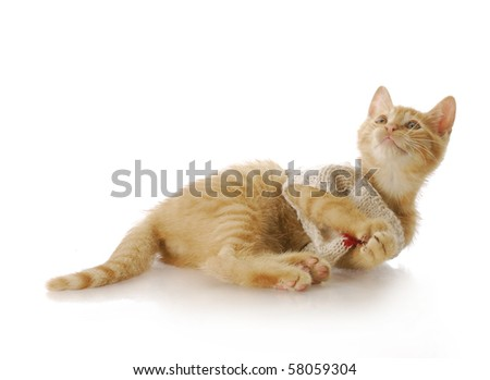 adorable nine week old kitten wearing knit sweater laying down with reflection on white background
