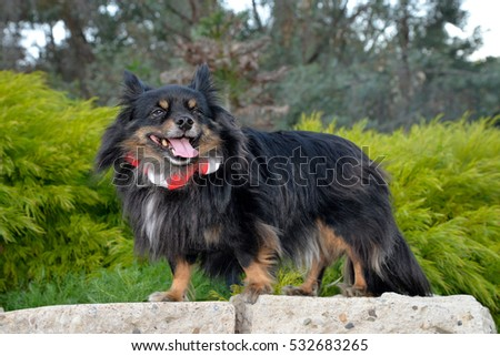 Adorable Papillon mix in park setting