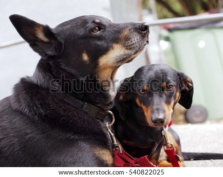 Adorable Patient Watchful Dachshund & Mixed Breed Dog Patiently Waiting For Their Owner.