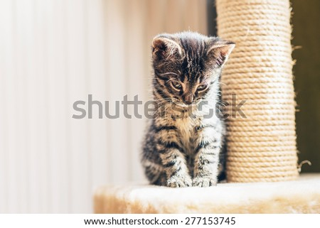 Adorable pensive baby tabby kitten sitting alongside its scratching post staring down at the floor , with copyspace - stock photo