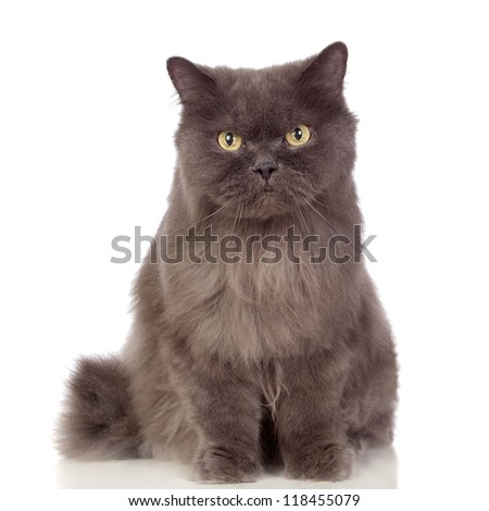 Adorable Persan cat looking up isolated on white background - stock photo