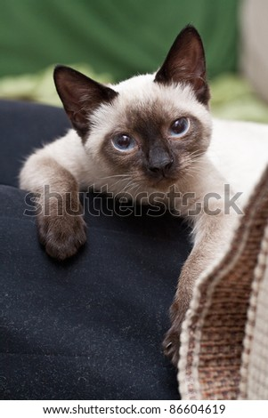 Adorable persian kitten - stock photo
