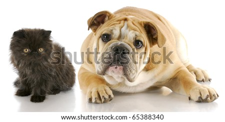 adorable persian kitten and english bulldog puppy with reflection on white background - stock photo