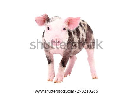 Adorable piglet standing isolated on white background - stock photo