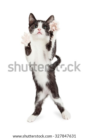 Adorable playful little black and white four month old kitten standing up on hind legs with front paws up to bat and play - stock photo