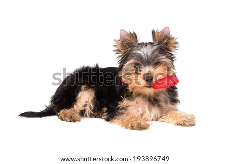 Adorable playful yorkshire terrier puppy with red toy. Isolated on white - stock photo