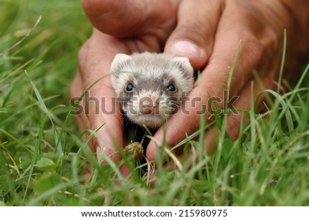 Adorable polecat - stock photo